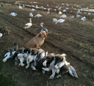 Guided Arkansas Snow Goose Hunts